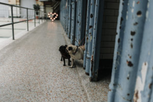 two small pugs dogs wearing bow ties with heart shaped light in the background at Victoria Baths in Manchester