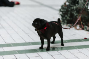 Small pug dog wearing a red bow tie at Victoria Baths in Manchester
